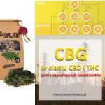 CBG w cieniu CBD i THC . Jeden z najważniejszych kannabinoidów.